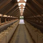 Inside view of mink farm
